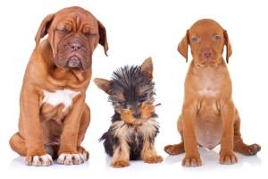 Každé plemeno má své specifické požadavky na krmení a granule pro psy. Stejně tak, jak se liší potrava štěňat a dospělých psů či psích seniorů.