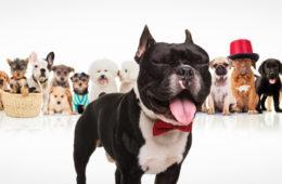 Jakého psa si pořídit? Podívejte se, jestli se k vám hodí některé z populárních psích plemen dneška – border kolie nebo francouzský buldoček.