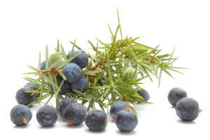 Jalovec obecný (Juniperus communis) se v lidovém léčitelství používá jako desinfekční prostředek. Umí odvádět z těla přebytečnou vodu, prokrvuje a zlepšuje látkovou výměnu.
