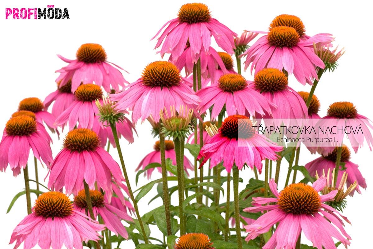 Třapatkovka nachová (EchinaceaPurpurea L.) je jednou z bylin, která dokáže na jaře posílit náš organismus a postavit se i alergiím.