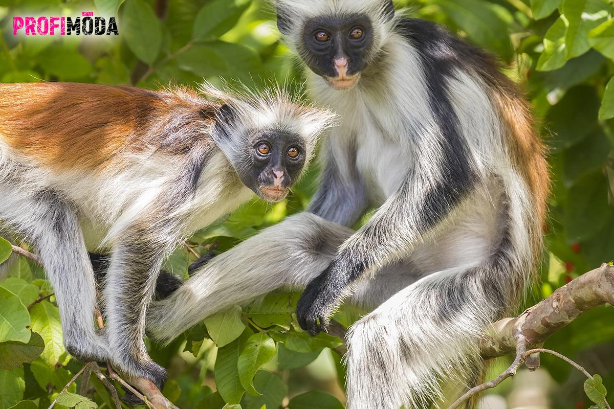 Vzácné opice Red Colobus, můžete vidět v rezervaci Jozani.